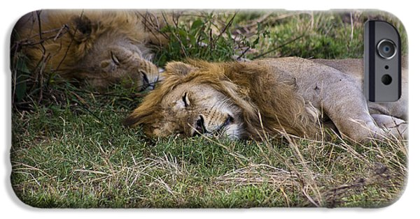 Sleeping Places iPhone Cases - Lazy Lions iPhone Case by Darcy Michaelchuk