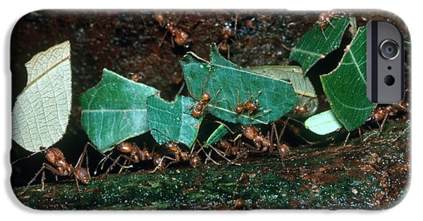 Ant iPhone Cases - Leafcutter Ants iPhone Case by Gregory G. Dimijian