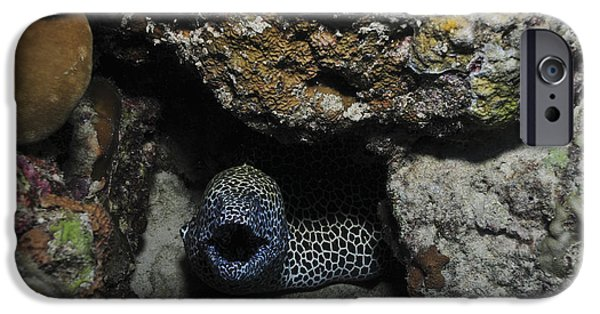Marine iPhone Cases - Leopard Moray Eel With Mouth Open iPhone Case by Mathieu Meur