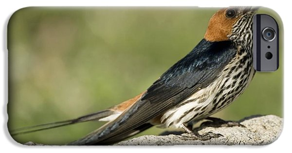 Hirundo iPhone Cases - Lesser Striped Swallow iPhone Case by Peter Chadwick