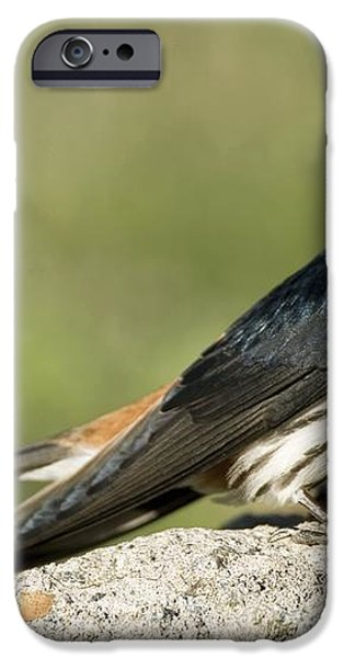 Lesser Striped Swallow iPhone Case by Peter Chadwick