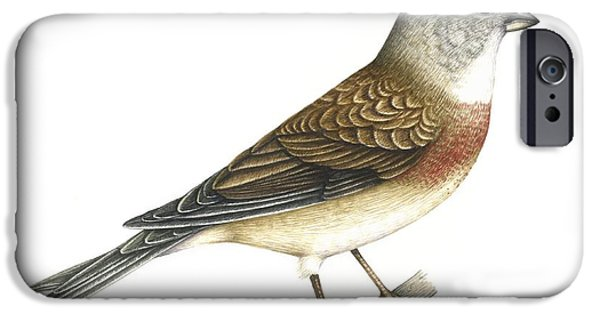 Northern Africa iPhone Cases - Linnet, Artwork iPhone Case by Lizzie Harper