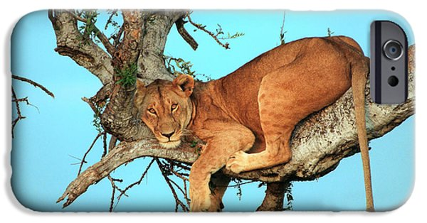 Lion iPhone Cases - Lioness in Africa iPhone Case by Sebastian Musial