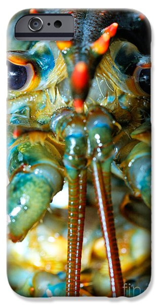 Chatham iPhone Cases - Live New England American Lobsters from Cape Cod iPhone Case by Matt Suess