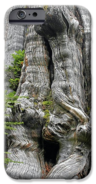 Canoe iPhone Cases - Long Views - Giant Western Red Cedar Olympic National Park WA iPhone Case by Christine Till