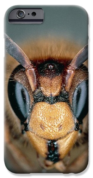 Hornet iPhone Cases - Macrophoto Of Head Of Hornet Vespa Crabro iPhone Case by Dr. Jeremy Burgess