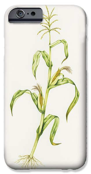 Maize (zea Mays) iPhone Case by Lizzie Harper