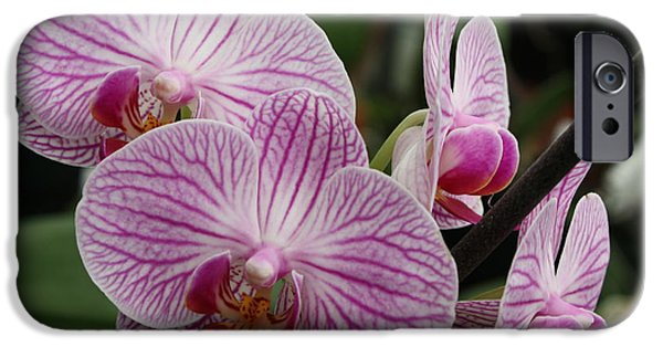 Phalaenopsis iPhone Cases - Majestic Orchids iPhone Case by Carol Groenen