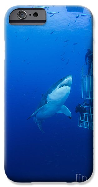 Fish Photographs iPhone Cases - Male Great White With Cage, Guadalupe iPhone Case by Todd Winner