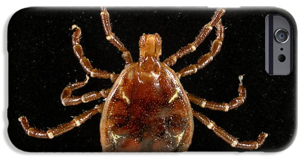 Staris iPhone Cases - Male Lone Star Tick iPhone Case by Science Source