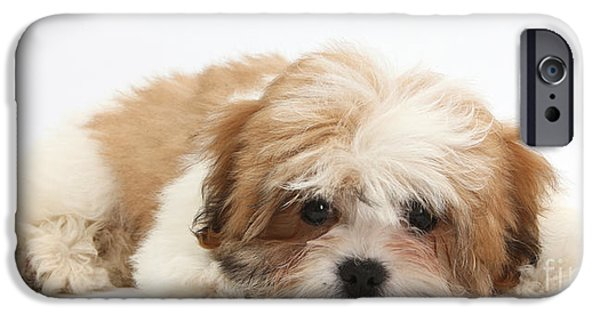 Maltese Puppy iPhone Cases - Maltese Shih-tzu Mix Puppy Lying Down iPhone Case by Mark Taylor