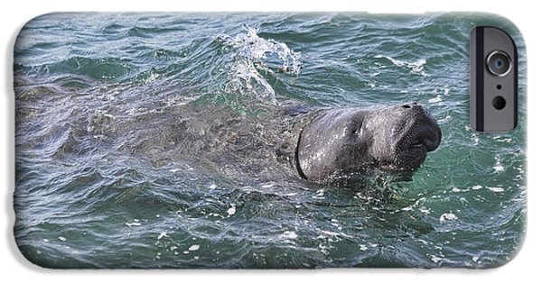 Manatee iPhone Cases - Manatee At Ponce Inlet iPhone Case by Deborah Benoit