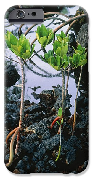 Rhizophora Mangle iPhone Cases - Mangrove Trees iPhone Case by G. Brad Lewis
