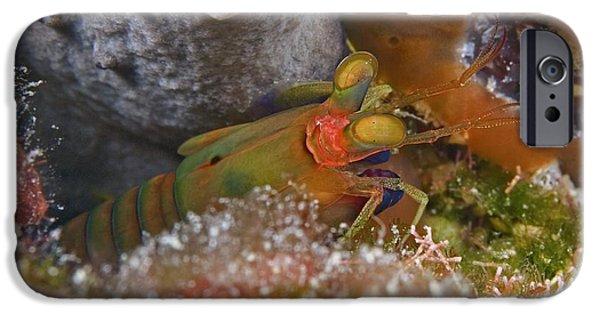 Mantises iPhone Cases - Mantis Shrimp iPhone Case by Clay Coleman