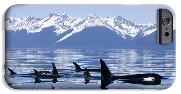 Inside Passage iPhone Cases - Many Orca Whales iPhone Case by John Hyde - Printscapes