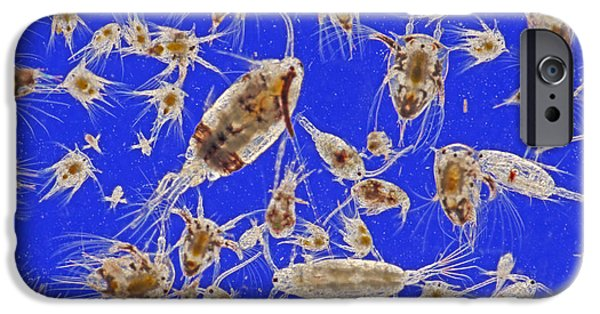 Micrography iPhone Cases - Live Marine Zooplankton iPhone Case by M I Walker