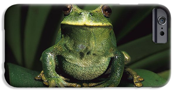 Frogs iPhone Cases - Marsupial Frog Gastrotheca Orophylax iPhone Case by Pete Oxford