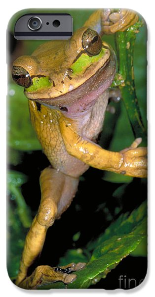 Anuran iPhone Cases - Masked Treefrog iPhone Case by Gregory G. Dimijian