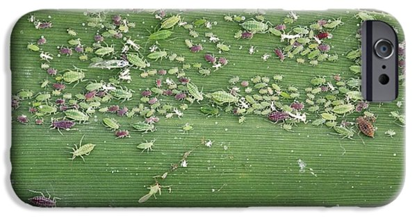 Eating Entomology iPhone Cases - Mealy Plum Aphids Feeding On A Leaf iPhone Case by Bob Gibbons
