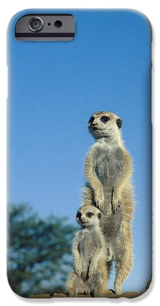 Parental Care iPhone Cases - Meerkats iPhone Case by Peter Chadwick