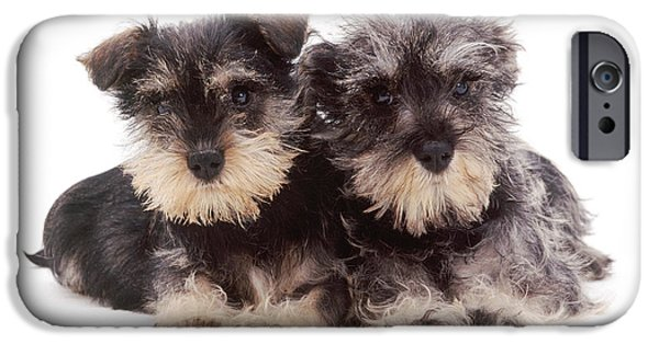 Cute Schnauzer iPhone Cases - Miniature Schnauzers iPhone Case by Jane Burton
