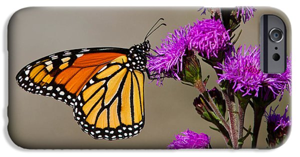 Eating Entomology iPhone Cases - Monarch iPhone Case by Mircea Costina Photography