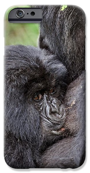 Parental Care iPhone Cases - Mountain Gorilla Infant Feeding iPhone Case by Tony Camacho