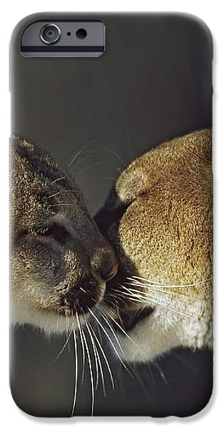 Mountain Lion Felis Concolor Cub iPhone Case by David Ponton