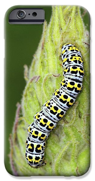 Eating Entomology iPhone Cases - Mullein Moth Caterpillar iPhone Case by Colin Varndell