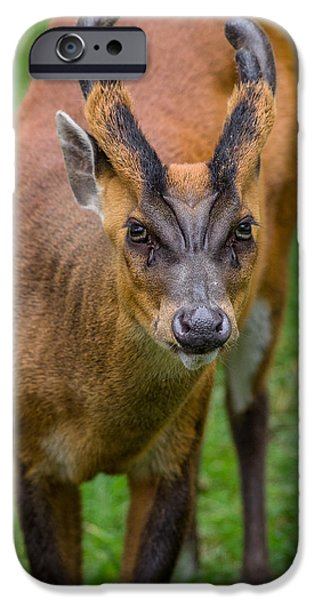 Fury iPhone Cases - Muntjac Intensity iPhone Case by Greg Nyquist