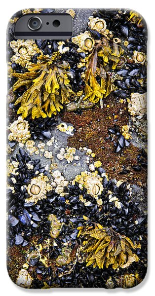 Low Tide iPhone Cases - Mussels and barnacles at low tide iPhone Case by Elena Elisseeva