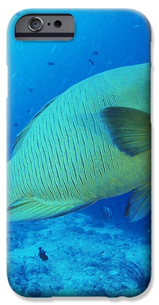 Napoleon Wrasse And Diver iPhone Case by Matthew Oldfield