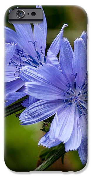 Natures Beautiful Blue Chicory Flowers iPhone Case by John Haldane