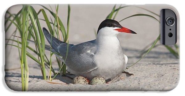 Hirundo iPhone Cases - Nesting Common Tern iPhone Case by Clarence Holmes
