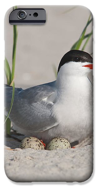 Nesting Common Tern iPhone Case by Clarence Holmes