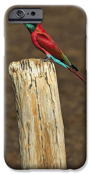 Northern Carmine Bee-eater iPhone Case by Tony Beck