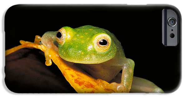 Anuran iPhone Cases - Northern Glass Frog iPhone Case by Dante Fenolio