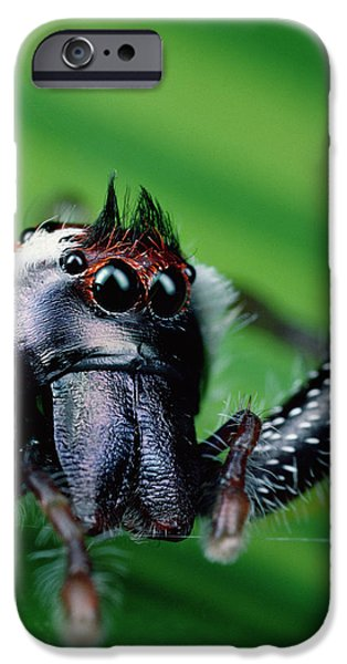 Jumping Spiders iPhone Cases - Northern Green Jumping Spider Mopsus iPhone Case by Mark Moffett