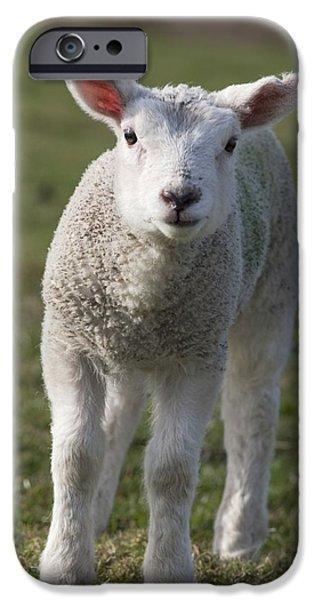 Barnyard Animals iPhone Cases - Northumberland, England A White Lamb iPhone Case by John Short