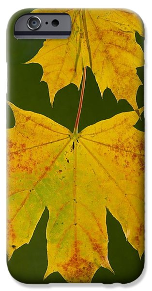 Norway iPhone Cases - Norway Maple (acer Platanoides) iPhone Case by Bob Gibbons
