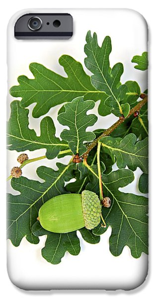 Oak branch with acorns iPhone Case by Elena Elisseeva