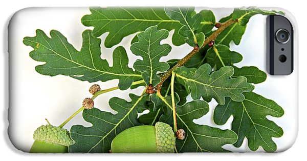 Botanical Photographs iPhone Cases - Oak branch with acorns iPhone Case by Elena Elisseeva