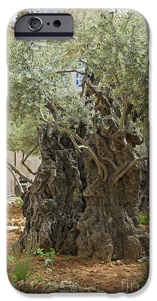 Psi iPhone Cases - Old Olive trees Gethsemane Jerusalem iPhone Case by Ilan Rosen