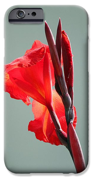 Canna iPhone Cases - On Fire iPhone Case by Suzanne Gaff