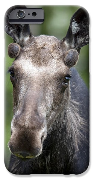 One Year Old Bull Moose With Growing iPhone Case by Philippe Henry