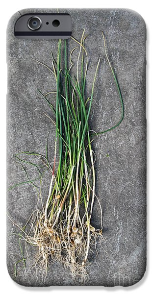 Flora iPhone Cases - Onion Grass iPhone Case by Photo Researchers, Inc.