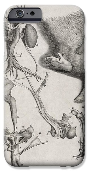 Opposum Anatomy, 18th Century iPhone Case by Middle Temple Library