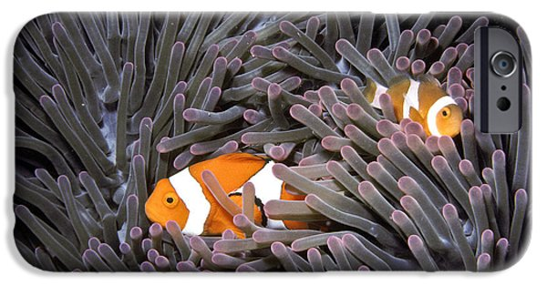 Clown Fish Photographs iPhone Cases - Orange Clownfish In An Anemone iPhone Case by Greg Dimijian