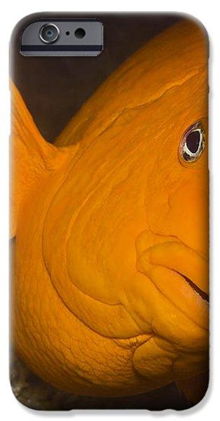 Orange Garibaldi iPhone Case by Mike Raabe
