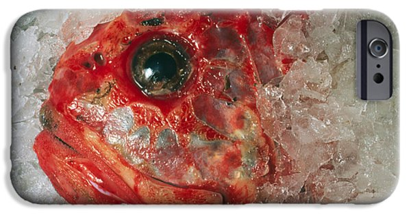 Resilience iPhone Cases - Orange Roughie Packed In Ice After Being Caught iPhone Case by Sinclair Stammers